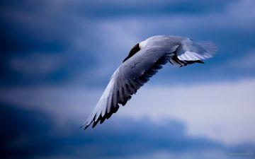 небо, полет, чайка, птица