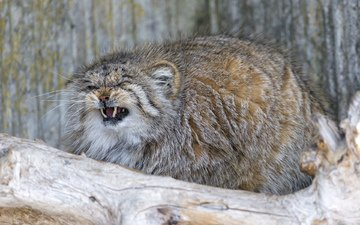 кошка, пушистый, клыки, манул, злой, ctambako the jaguar