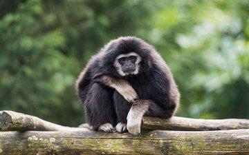 обезьяна, примат, гиббон