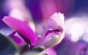 цветок, розовый, капли воды