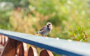 забор, размытость, птица, воробей, перья
