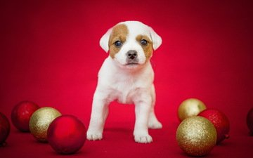 balls, background, dog, puppy, holiday, jack russell terrier