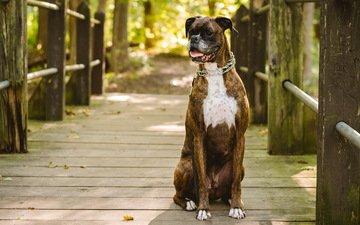 мост, собака, боксер