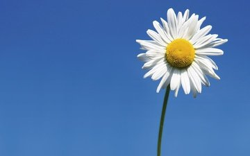 небо, цветок, ромашка, белая, ромашка.небо