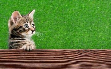 кот, кошка, взгляд, котенок, когти, лапа
