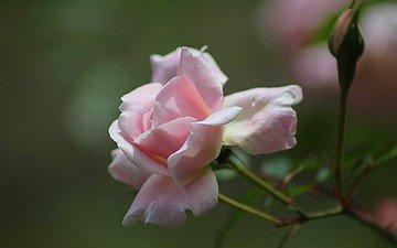 бутоны, цветок, роза, розовая