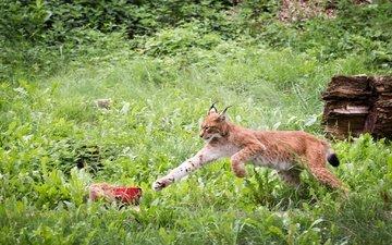 трава, зелень, рысь, прыжок, хищник, мясо, лапа, дикая кошка, заросли