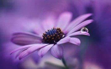 макро, цветок, капля, гербера, jarmila vymazalová