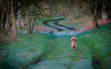 дорога, трава, деревья, собака, кокер-спаниель