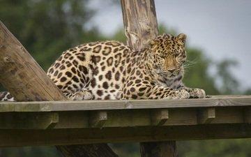 леопард, пятна, хищник, отдых, зоопарк, дикая кошка