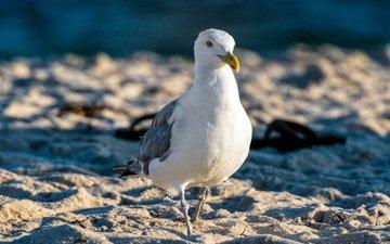 природа, песок, чайка, птицы