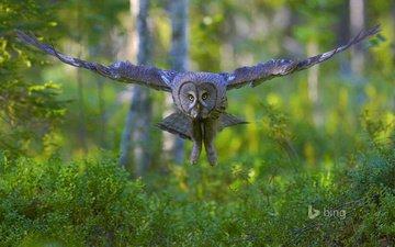 сова, полет, крылья, птицы, бородатая неясыть