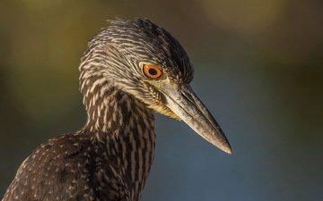background, birds, beak, heron