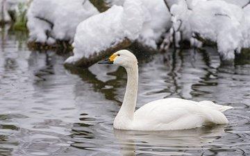 вода, снег, зима, белый, водоем, птицы, холод, рябь, лебедь, шея, грация