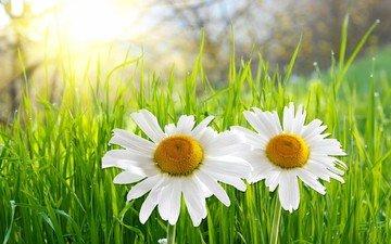 небо, свет, цветы, трава, лето, ромашки, белые