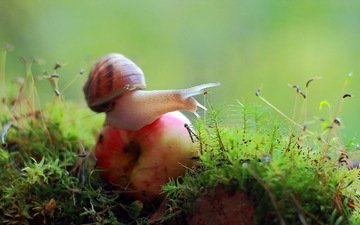 nature, macro, moss, apple, snail