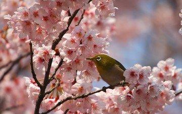 цветы, цветение, ветки, лепестки, птица, весна, сакура, белоглазка