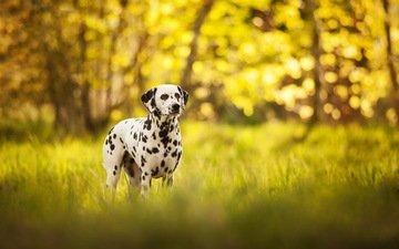 трава, природа, собака, далматин, долматинец, долматин