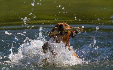 морда, вода, собака, водоем, брызги, движение, игра, палка, пасть