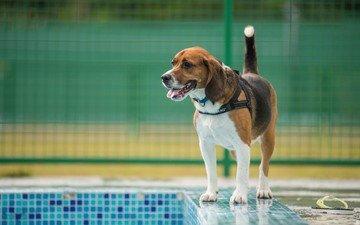 собака, ошейник, бигль, бассейн.