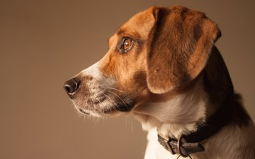 собака, профиль, бигль