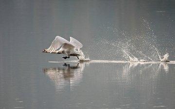 вода, брызги, птицы, лебедь