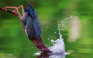 water, squirt, bird, heron, the american green heron