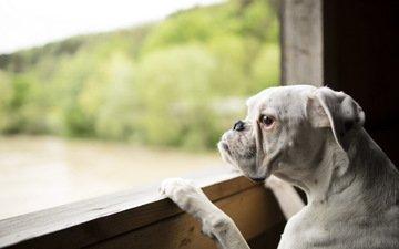 собака, бульдог, ожидание