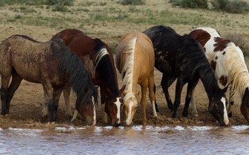 лошади, кони, водопой, табун