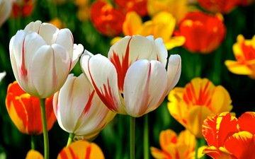 цветы, фон, разноцветные, весна, тюльпаны