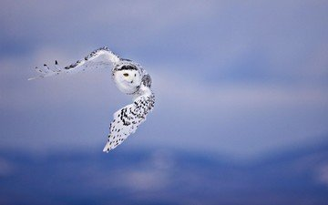 owl, flight, birds, white, polar