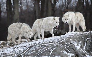 природа, лес, зима, белые, волки, волки.стая