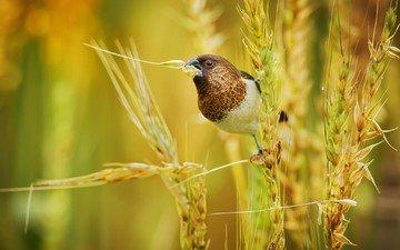 природа, поле, птица, колоски, японский амадин