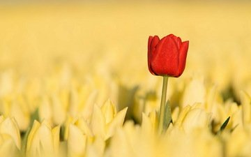 flowers, nature, red, spring, tulips, yellow