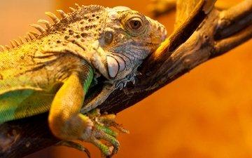 ветка, ящерица, рептилия, игуана, пресмыкающееся