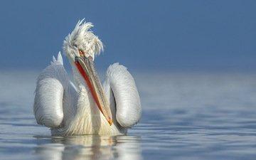 природа, птица, пеликан