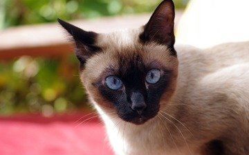 кот, кошка, взгляд, голубые глаза, сиамская, ziva & amir