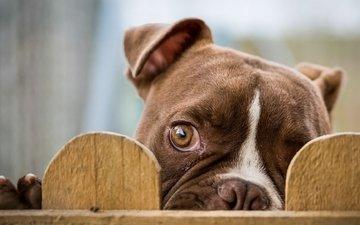 взгляд, забор, глаз, бульдог, cобака