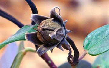 макро, цветок, семена, коричневый, гибискус, сухой, ziva & amir