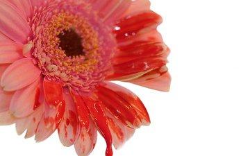 макро, цветок, капли, краска, белый фон, гербера, цветком