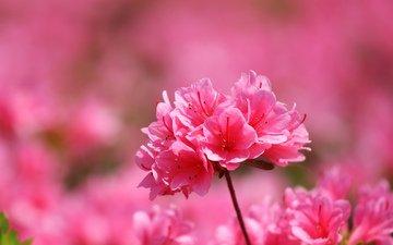 цветы, макро, лепестки, розовые, азалия