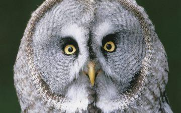 глаза, сова, взгляд, птицы, бородатая неясыть