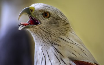 орел, птицы, клюв, хищная
