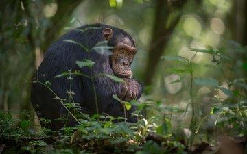 деревья, листва, африка, обезьяна, джунгли, боке, шимпанзе, chimpanzee, южная уганда, национальный парк кибале