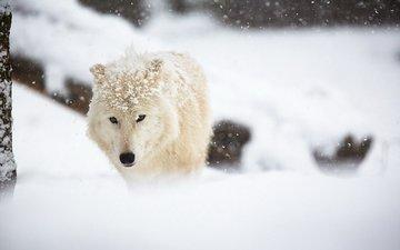 снег, зима, белый, животное, волк, арктический волк