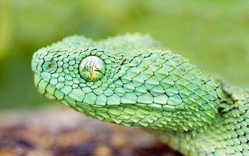 змея, глаз, зеленая, чешуя, голова, древесная, гадюка, : змея
