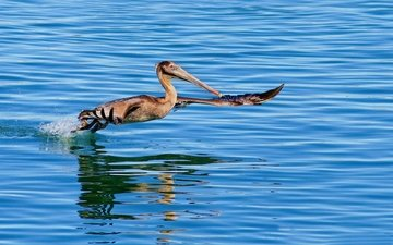 вода, крылья, птица, клюв, пеликан
