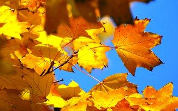 небо, листья, осень, клен