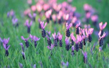 цветы, трава, поле, лаванда, луг