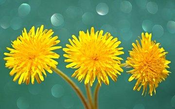 flowers, macro, petals, dandelions, stem, yellow